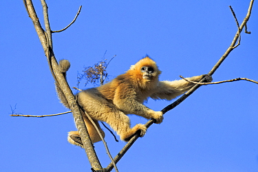 Golden snub-nosed monkey (Rhinopithecus roxellana) in tree, with blue sky. Qinling Mountains, Shaanxi province, China