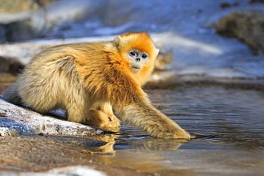 Golden snub-nosed monkey (Rhinopithecus roxellana) drinking at river, Qinling Mountains, Shaanxi province, China