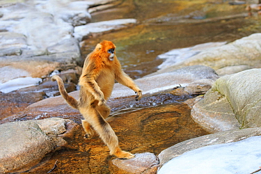 Golden snub-nosed monkey (Rhinopithecus roxellana) crossing river, standing on hind legs, Qinling Mountains, Shaanxi province, China