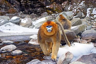 Golden snub-nosed monkey (Rhinopithecus roxellana), near a river, Qinling Mountains, Shaanxi province, China