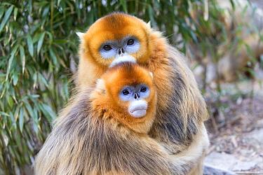 Golden snub-nosed monkeys (Rhinopithecus roxellana) hugging, Qinling Mountains, Shaanxi province, China