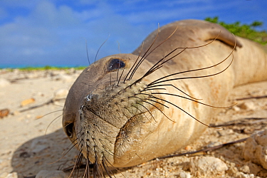 Hawaiian monk seal (Monachus schauinslandi) hauled out on beach, Sand Island, Midway, Hawaii