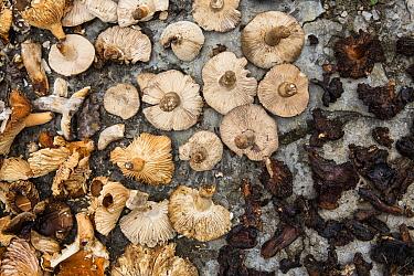 Harvested mushrooms, Democratic Republic of Congo