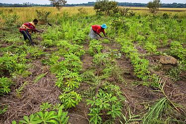 Women cultivating Cassava (Manihot esculenta) leaf, Democratic Republic of Congo. May 2017.