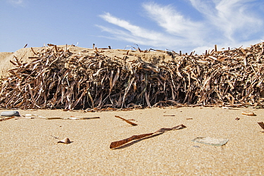 Dried mat of Neptune seagrass (Posidonia oceanica) leaves washed ashore. If left then they can protect the beach from erosion and the loss of important ecosystem services, Arina beach, Heraklion, Cret...