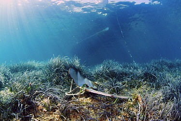 Neptune's seagrass (Posidonia oceanica) meadow damaged by repeated anchorage by leisure boats. National Marine Park of Alonissos Nothern Sporades, Greece