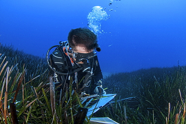 A researcher collects data from the seagrass meadows (Posidonia oceanica) in the Samaria National Park, Chania, Crete. The continous monitoring of the ecological status of the seagrass meadows is an i...