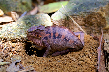 Panther chameleon (Furcifer pardalis) female burrowing in to ground to lay eggs, Marojejy National Park, Madagascar.