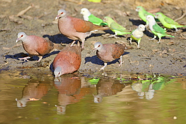 Madagascar turtle dove (Nesoenas picturatus) and Grey-headed lovebird (Agapornis canus) drinking at waterhole, Kirindy forest Private reserve, Madagascar.