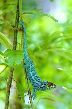 Panther chameleon (Furcifer pardalis), Lokobe National Park, Madagascar.