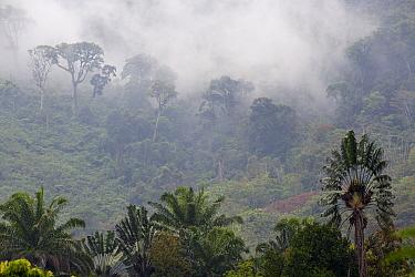 Traveller's palm (Ravenala madagascariensis) and misty habitat, Ranomafana National Park, Madagascar.