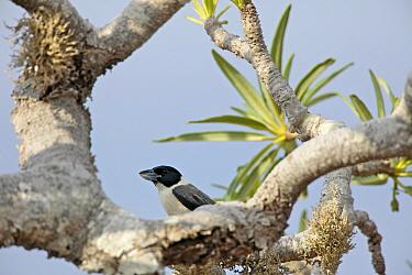 Lafresnaye's Vanga (Xenopirostris xenopirostris) in tree,Tsimanampetsotsa National Park, Madagascar, Endemic.