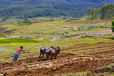 Man ploughing rice field with cattle, Madagascar.