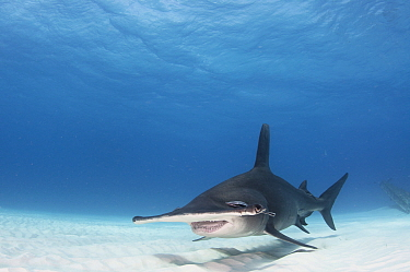 Great hammerhead shark (Sphyrna mokarran) swimming over sandy seabed, Bimini, Bahamas.