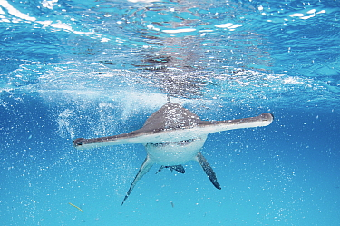 A Great hammerhead shark (Sphyrna mokarran) swimming towards the camera, Bimini, Bahamas.