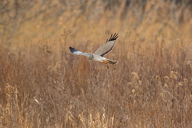 Northern Harrier (Circus cyaneus) male in flight over field in winter, Ulster County, New York, USA