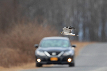 Northern Harrier (Circus cyaneus) male flying across a road in front of an approaching vehicle, Ulster County, New York, USA