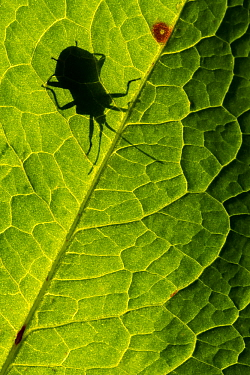 Dock bug (Coreus marginatus) silhouetted against a backlit dandelion leaf (Taraxacum officinale), Broxwater, Cornwall, UK. April.