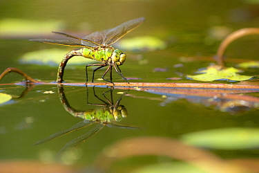 Emperor dragonfly (Anax imperator) female laying eggs in a Cornish pond, Broxwater, Cornwall, UK. August.