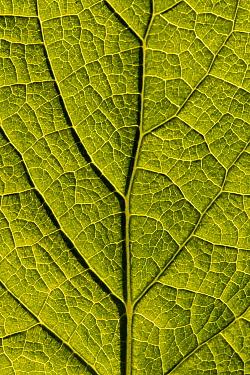 Dandelion leaf close-up (Taraxacum officinale), Cornwall, UK. May.