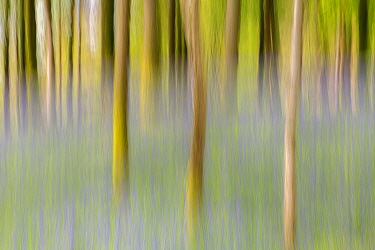 Artistic shot of immature woodland and bluebells at Broxwater, Cornwall, UK. April.