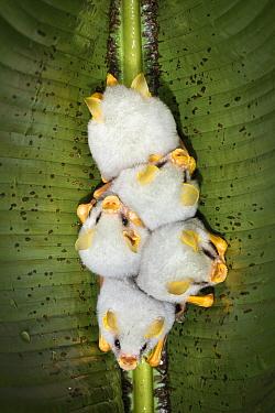 Honduran white bat (Ectophylla alba), roosting in heliconia leaf, Costa Rica. November.