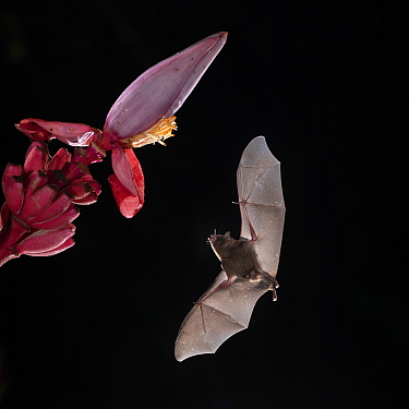 Pallas's long-tongued Bat (Glossophaga soricina) feeding from Flowering banana (Musa ornata), Lowland rainforest, Costa Rica. November.