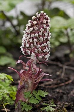 Butterbur (Petasites hybridus), female flower, England: Surrey, on bank of River Wandle, Croydon, near boundary with Beddington, March