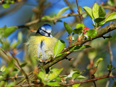 Blue tit (Parus caeruleus) perched on a Crab apple (Malus sylvestris) tree branch in a garden, fluffing up its feathers to keep warm late in the day, Wiltshire, UK, March.
