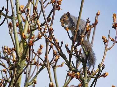 Grey squirrel (Sciurus carolinensis) feeding on new leaves in a Horse chestnut (Aesculus hippocastanum) tree, Wiltshire, UK, March.
