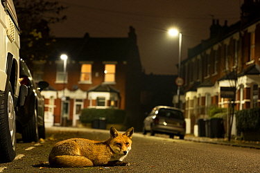 Red fox (Vulpes vulpes) rests in an urban street at night, London,  England.