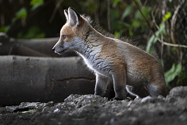 Red fox (Vulpes vulpes) cub at the entrance to the den on allotment, North London, England. April 2020.