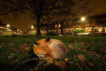 Red fox (Vulpes vulpes) resting on a green at night, North London,  England.