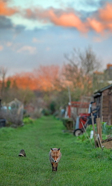 Red fox (Vulpes vulpes) trotting through a deserted allotment North London, England, during coronavirus lockdown, March 2020.