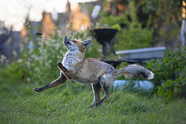 Red fox (Vulpes vulpes) plays with a dead common garden frog (Rana temporaria) on allotment, North London, England, during coronavirus lockdown, March 2020.