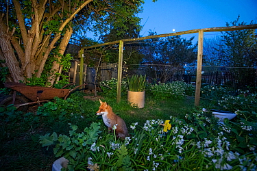 Red fox in its allotment territory with moon (Vulpes vulpes) during coronavirus lockdown, April 2020, North London, England.
