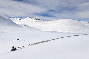 Reindeer herders moving a large flock of semi-domesticated Reindeer (Rangifer tarandus), with the help of snowmobiles, to the reindeer calving areas in the Jotunheimen National Park, Norway. April 202...