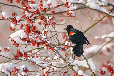 Red-winged Blackbird (Agelaius phoenicus) male singing from snow-covered red maple (Acer rubrum) in flower, Ithaca, New York, USA. April 2020.