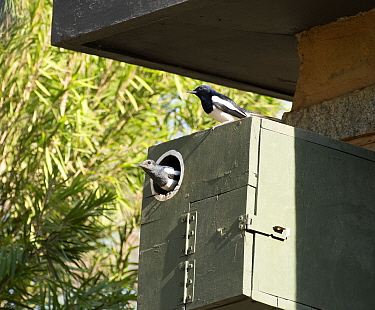 Oriental Magpie Robin (Copsychus saularis) - pair in nest box, Whitefield, Bangalore, India, March.