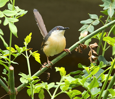 Ashy prinia (Prinia socialis), Whitefield, Bangalore, India, March.