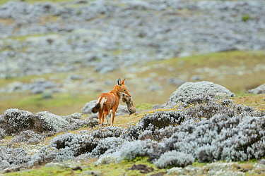 Ethiopian Wolf (Canis simensis) catching a big-headed African mole-rat (Tachyoryctes macrocephalus) in the Sanetti Plateau, Bale Mountains National Park, Oromia, Ethiopia.