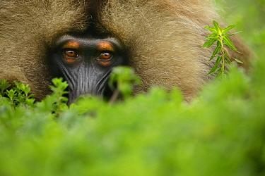 Gelada Baboon (Theropithecus gelada) male lying in a forest glade at around 3,000 metres of altitude, Simien Mountains National Park, Amhara, Ethiopia.