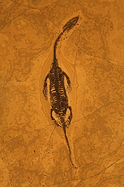 Fossil Reptile (Keichousaurus hui) from the Triassic period. China. Family Pachypluerosauridae.