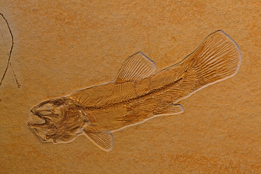 Fossil fish (Ameopsis lepidota) from the Upper Triassic period. Solnhofen, Germany
