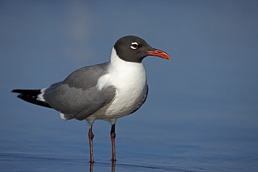 Laughing Gull (Larus atricilla) adult in breeding plumage, coast of Gulf of Mexico, Mississippi, USA