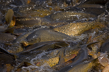 Carp (Cyprinus carpio) swimming up channel from canal in order to reach warm water lake, New York, USA. Native to Asia, introduced to US in 1880's as a food fish but proved detrimental to native f...