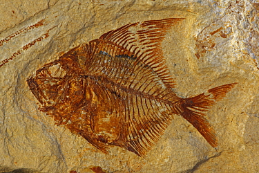 Fossil fish (Aipichthys velifer) from the Cretaceous period, Lebanon