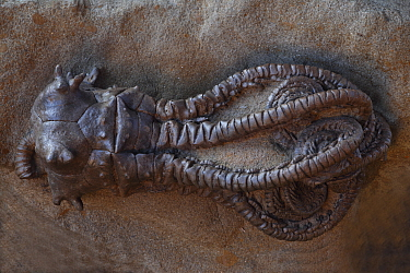 Fossil Crinoid (Jimbacrinus bostocki) from the Early Permian period, Gascoyne Junction, Western Australia