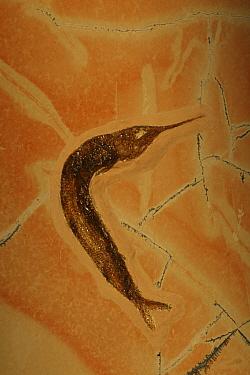 Fossil Fish (Belonostomus) from the Jurassic period, Solnhofen, Germany