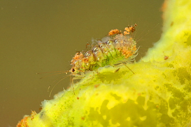 Spongillafly larva (Sisyra fuscata) feeding on freshwater sponge (Spongilla lacustris), Europe, July, controlled conditions